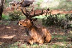 jaru deers uroczysty muła park narodowy my Zdjęcie Stock