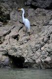 jaru egret wielki Mexico sumidero Fotografia Royalty Free