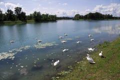 Jarun swans Royalty Free Stock Image