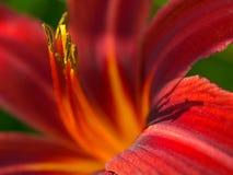 jarzębaty światło daylily makro Obrazy Royalty Free