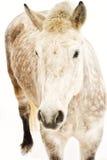 Jarzębaty biały koń Obrazy Royalty Free