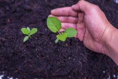 Jarzeniowa roślina Zdjęcia Royalty Free
