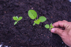 Jarzeniowa roślina Zdjęcia Stock