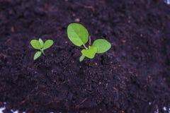 Jarzeniowa roślina Fotografia Stock