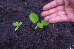 Jarzeniowa roślina Obraz Royalty Free