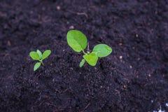 Jarzeniowa roślina Obrazy Royalty Free