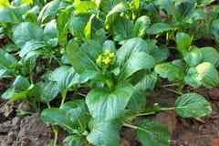 Jarzynowa roślina zdjęcie royalty free
