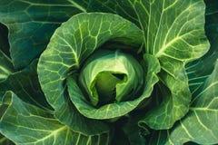Jarzynowa sałaty Zielonej kapusty Świeża zielona ogrodowa kapusta na nieociosanym drewnianym tle Obrazy Stock