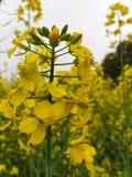 Jarzynowi kwiaty obraz stock