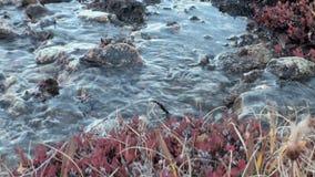 Jarzynowy życie w zimna opustoszały Arktycznym zbiory