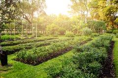 jarzynowy chili przyrost przy ogródem Zdjęcie Stock