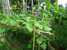 Jarzynowy ogród wzdłuż ogrodzenia za domem Obrazy Royalty Free