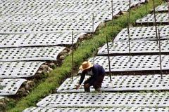 Jarzynowy uprawia ziemię Indonezja Fotografia Royalty Free