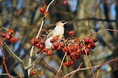 Jaseur mangeant des baies avec, survie d'hiver, volées des oiseaux, oiseaux de alimentation Images libres de droits