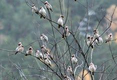 Jaseurs ou bombycilla d'oiseaux chanteurs Photographie stock libre de droits