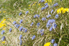 Jasione montana Stock Photography