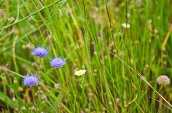 Jasione montana Royalty Free Stock Images