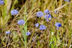 Jasione montana under the summer sun Royalty Free Stock Photography