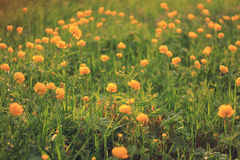 Jaskierów kwiatów żółty pole Zdjęcia Royalty Free