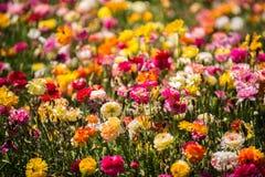 Jaskierów kwiatów pole Fotografia Stock