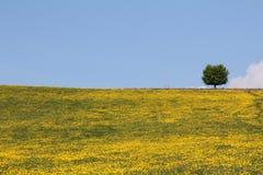 Jaskier łąka Obrazy Stock