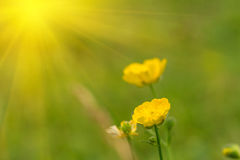 jaskier kwitnie kolor żółty zdjęcia stock