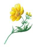 Jaskieru żółty kwiat Zdjęcia Royalty Free