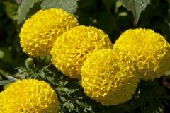 Jaskrawa żółta koreańska chryzantema Fotografia Royalty Free