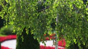 Jaskrawa brzoza rozgałęzia się w świetle słonecznym zdjęcie wideo