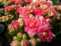 Jaskrawa cudowna czerwień Kalanchoe i kwitniemy kwitnienie w Kwiecień wiosny sezonie zdjęcie stock