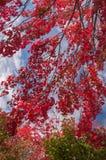 Jaskrawa czerwień opuszcza na gałąź klon przeciw niebu Cudowny pogodny ciepły dzień Kolory jesień zdjęcie royalty free