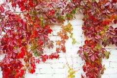 Jaskrawa czerwień opuszcza natury tło Wspinaczkowy rośliny ściany jesieni krajobraz obraz stock