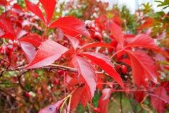 Jaskrawa czerwień opuszcza natury tło Wspinaczkowy rośliny ściany jesieni krajobrazu zakończenie up opuszcza zdjęcie royalty free