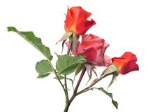 Jaskrawa czerwień trzy mała wzrastał kwiaty na trzonie zdjęcia stock