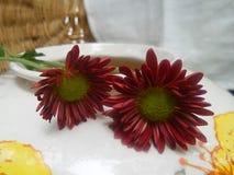 Jaskrawa czerwień kwitnie na białej Chaina wazie Zdjęcie Royalty Free