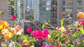Jaskrawa czerwieni menchia kwitnie w ruchu wiatr zdjęcie wideo