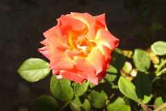 Jaskrawa czerwieni róża w mój ogródzie obrazy stock
