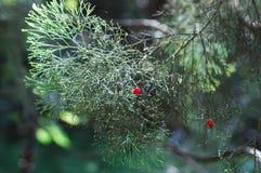 Jaskrawa czerwona jagoda wśród zieleni, igłowaci liście Zdjęcie Stock
