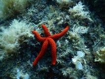 Jaskrawa Czerwona rozgwiazda w Śródziemnomorskim zdjęcie royalty free