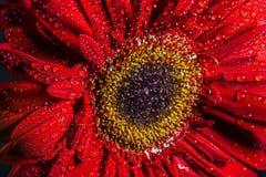 Jaskrawa Czerwona stokrotka z wodą Zdjęcia Stock