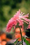 Jaskrawa genialna chryzantema Fotografia Stock