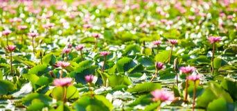 Jaskrawa i pi?kna sceneria wodne leluje na tropikalnym stawie, kolorowe r??owe wodne leluje w pe?nym kwiacie, bokeh z zamazanym fotografia stock