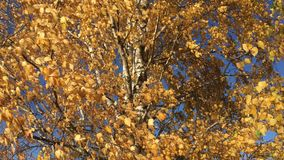 Jaskrawa jesieni brzoza opuszcza na gałąź trzepocze w wiatrze zbiory wideo