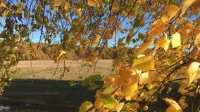 Jaskrawa jesieni brzoza opuszcza na gałąź trzepocze w wiatrze zbiory