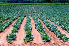 Jaskrawa Kapuściana uprawa w Wisconsin, usa Obraz Royalty Free