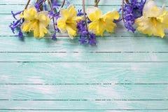 Jaskrawa kolorowa koloru żółtego i błękita wiosna kwitnie na turkusu pa Obrazy Royalty Free