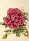 Jaskrawa kwiat peonia Obrazy Royalty Free