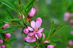 Jaskrawa menchia kwitnie na tle zieleni liście Zdjęcie Stock