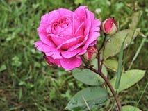 Jaskrawa menchii róża po deszczu w lato parku Moskwa obraz stock