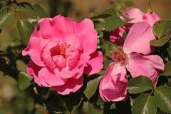 JASKRAWA menchii róża W kwiacie Obrazy Stock